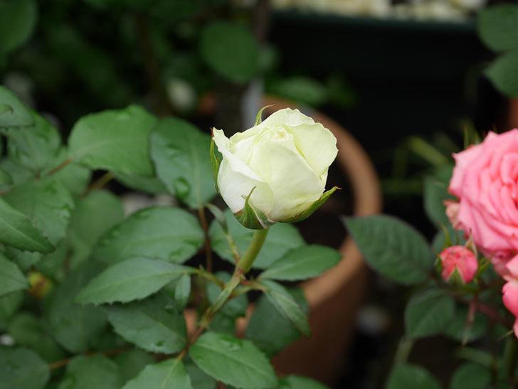 ベルガモ・フォーエバー(ミニバラ)の花が開いて来た。2020年-001.jpg