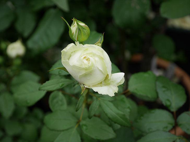 ベルガモ・フォーエバー(ミニバラ)の花が開いて来た。2020年-002.jpg