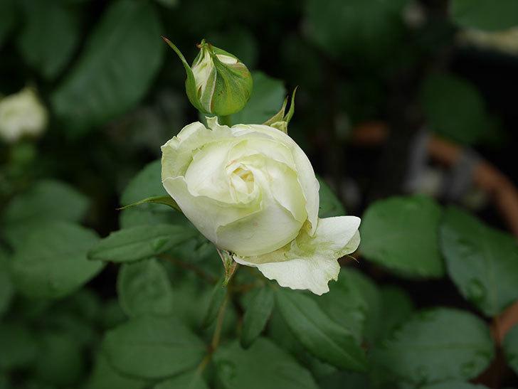 ベルガモ・フォーエバー(ミニバラ)の花が開いて来た。2020年-003.jpg