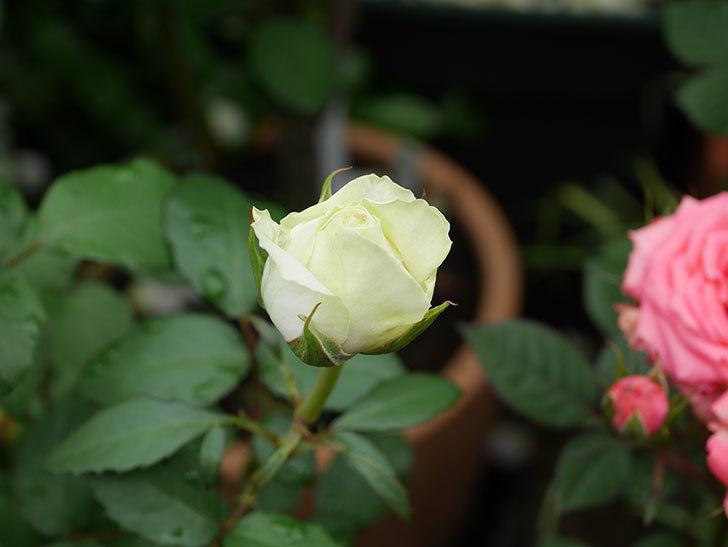ベルガモ・フォーエバー(ミニバラ)の花が開いて来た。2020年-004.jpg