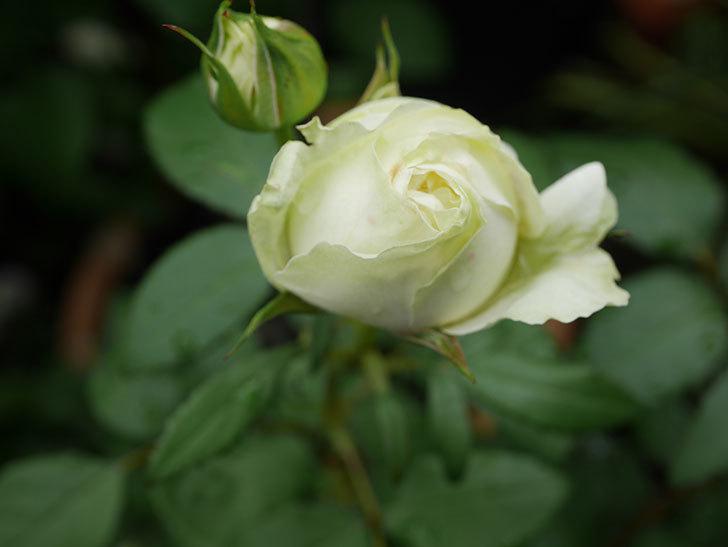 ベルガモ・フォーエバー(ミニバラ)の花が開いて来た。2020年-005.jpg