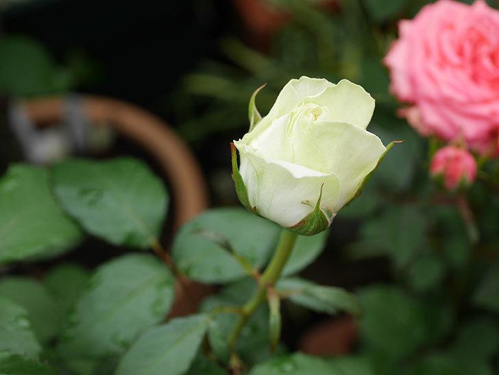 ベルガモ・フォーエバー(ミニバラ)の花が開いて来た。2020年-006.jpg