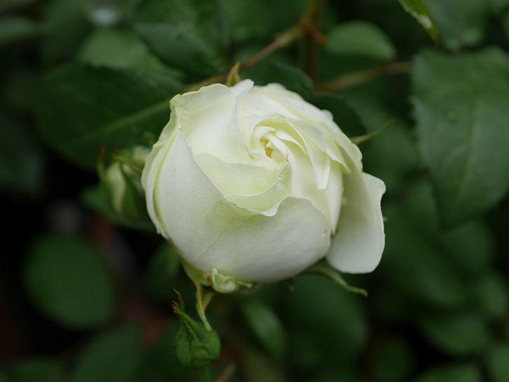 ベルガモ・フォーエバー(ミニバラ)の花が開いて来た。2020年-007.jpg