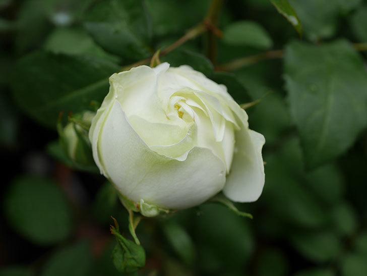 ベルガモ・フォーエバー(ミニバラ)の花が開いて来た。2020年-008.jpg
