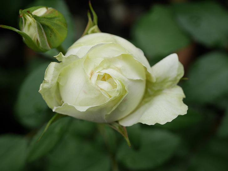 ベルガモ・フォーエバー(ミニバラ)の花が開いて来た。2020年-009.jpg