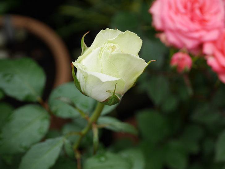 ベルガモ・フォーエバー(ミニバラ)の花が開いて来た。2020年-010.jpg
