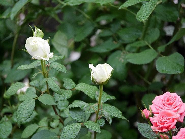 ベルガモ・フォーエバー(ミニバラ)の花が開いて来た。2020年-011.jpg