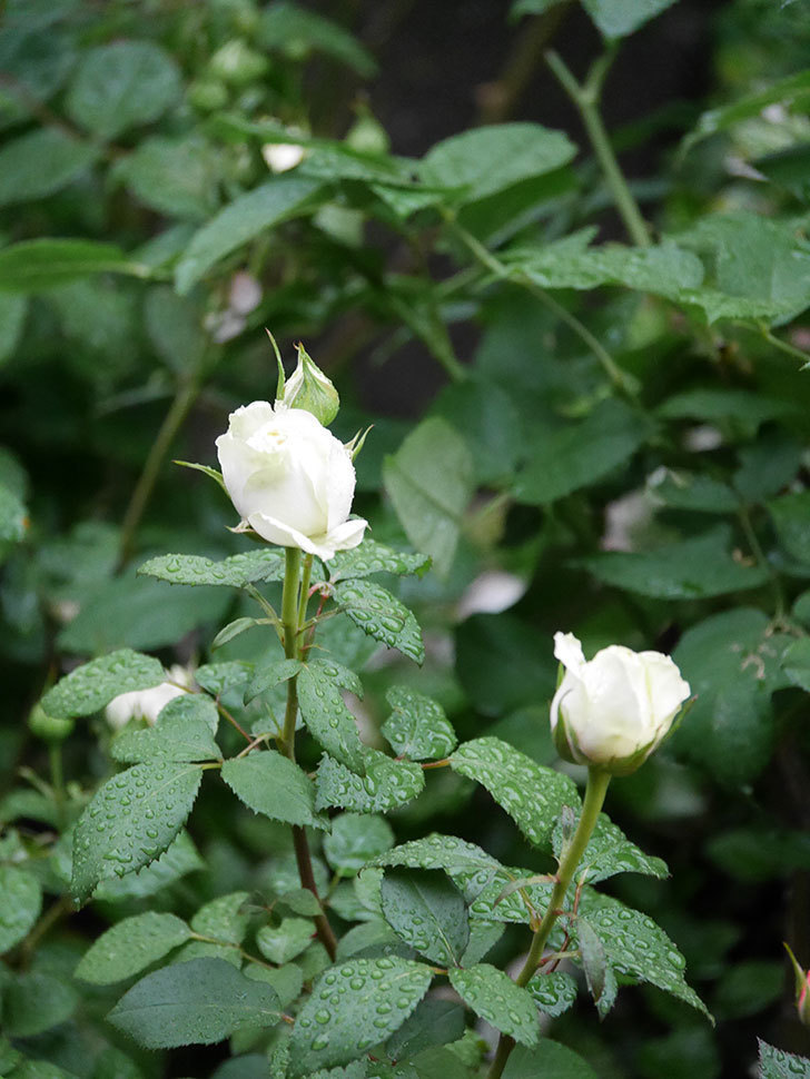ベルガモ・フォーエバー(ミニバラ)の花が開いて来た。2020年-013.jpg
