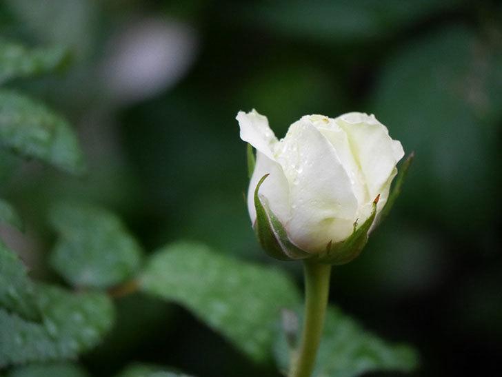 ベルガモ・フォーエバー(ミニバラ)の花が開いて来た。2020年-014.jpg
