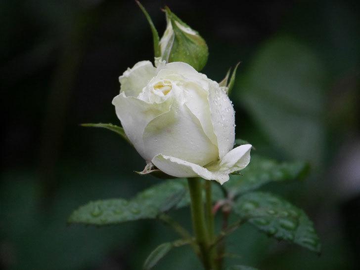 ベルガモ・フォーエバー(ミニバラ)の花が開いて来た。2020年-015.jpg