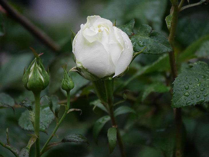 ベルガモ・フォーエバー(ミニバラ)の花が開いて来た。2020年-016.jpg