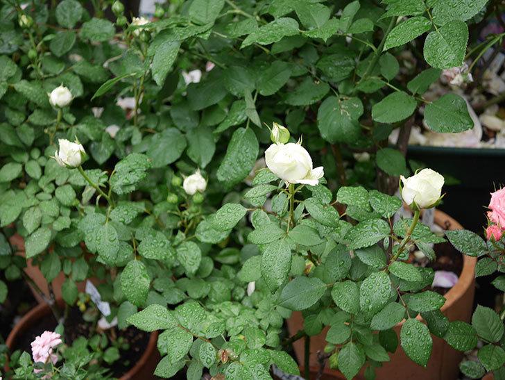 ベルガモ・フォーエバー(ミニバラ)の花が開いて来た。2020年-017.jpg