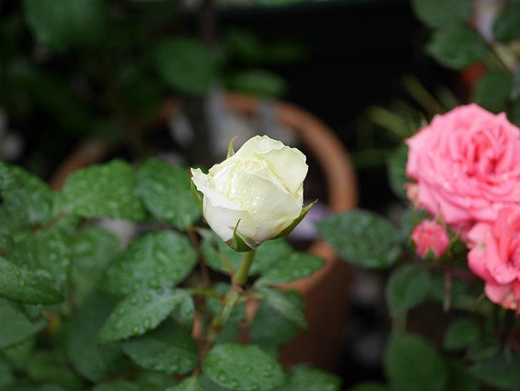 ベルガモ・フォーエバー(ミニバラ)の花が開いて来た。2020年-019.jpg