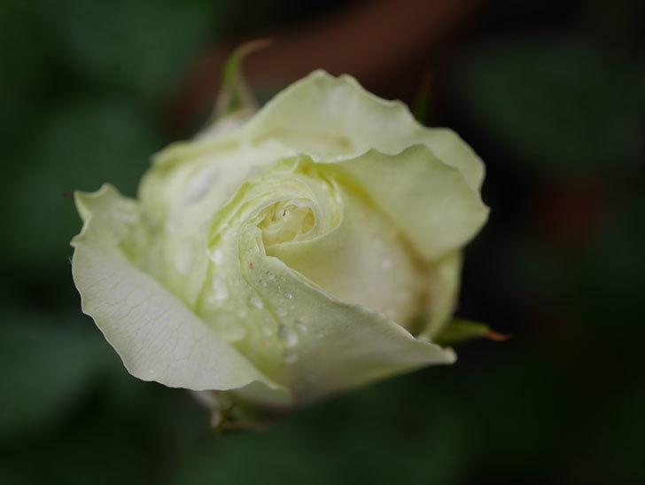 ベルガモ・フォーエバー(ミニバラ)の花が開いて来た。2020年-020.jpg