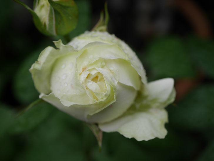 ベルガモ・フォーエバー(ミニバラ)の花が開いて来た。2020年-021.jpg