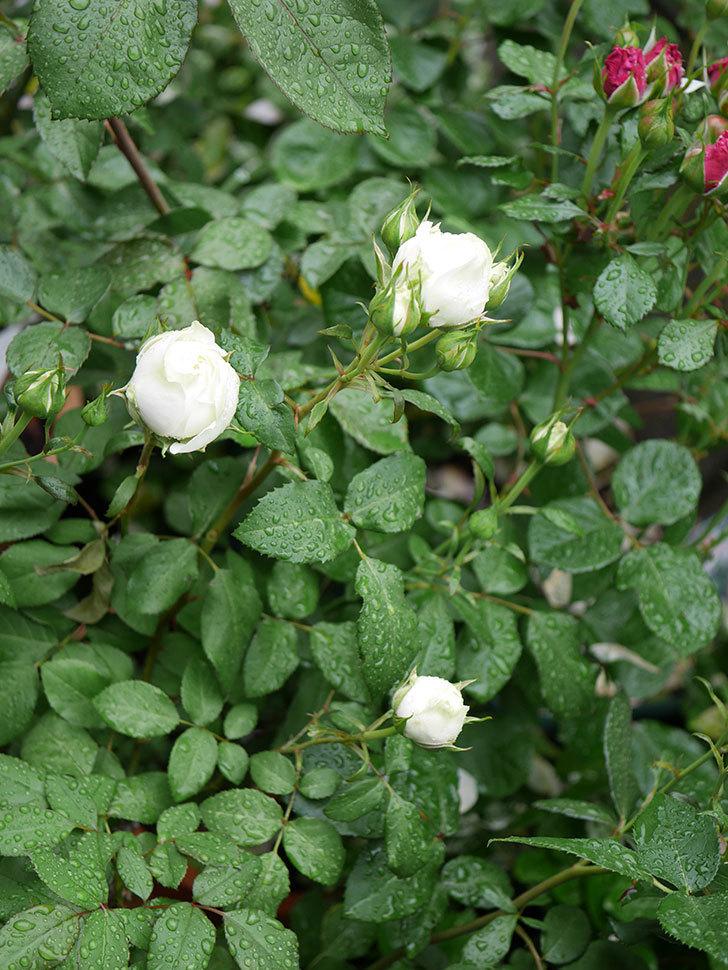 ベルガモ・フォーエバー(ミニバラ)の花が開いて来た。2020年-022.jpg