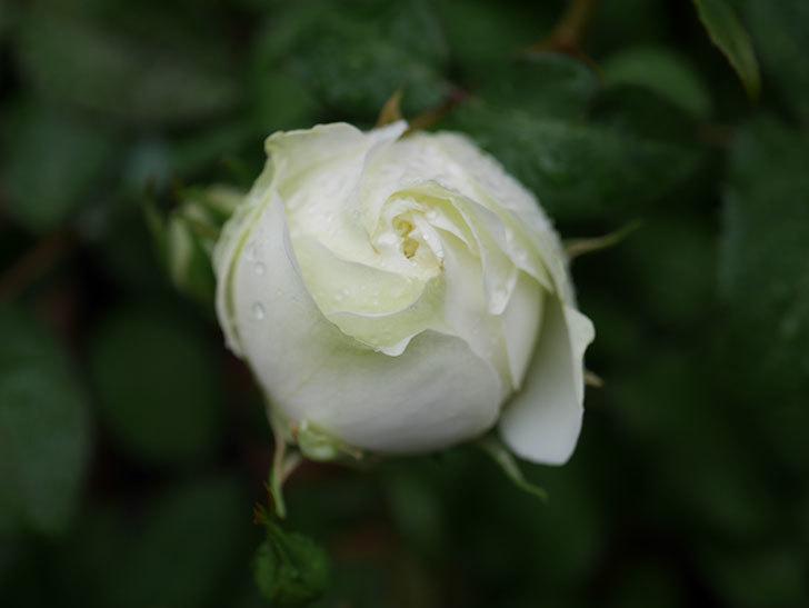 ベルガモ・フォーエバー(ミニバラ)の花が開いて来た。2020年-023.jpg