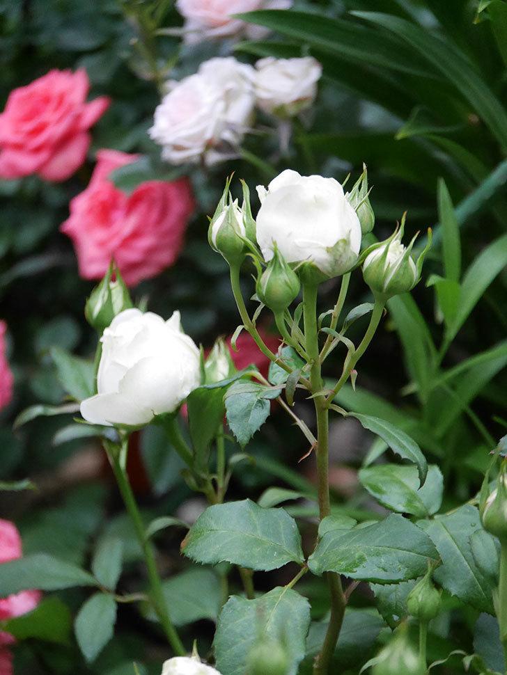 ベルガモ・フォーエバー(ミニバラ)の花が開いて来た。2020年-025.jpg