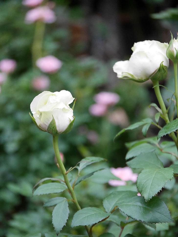 ベルガモ・フォーエバー(ミニバラ)の花が開いて来た。2020年-026.jpg