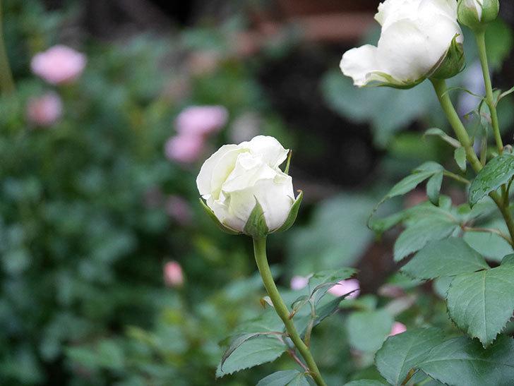 ベルガモ・フォーエバー(ミニバラ)の花が開いて来た。2020年-027.jpg