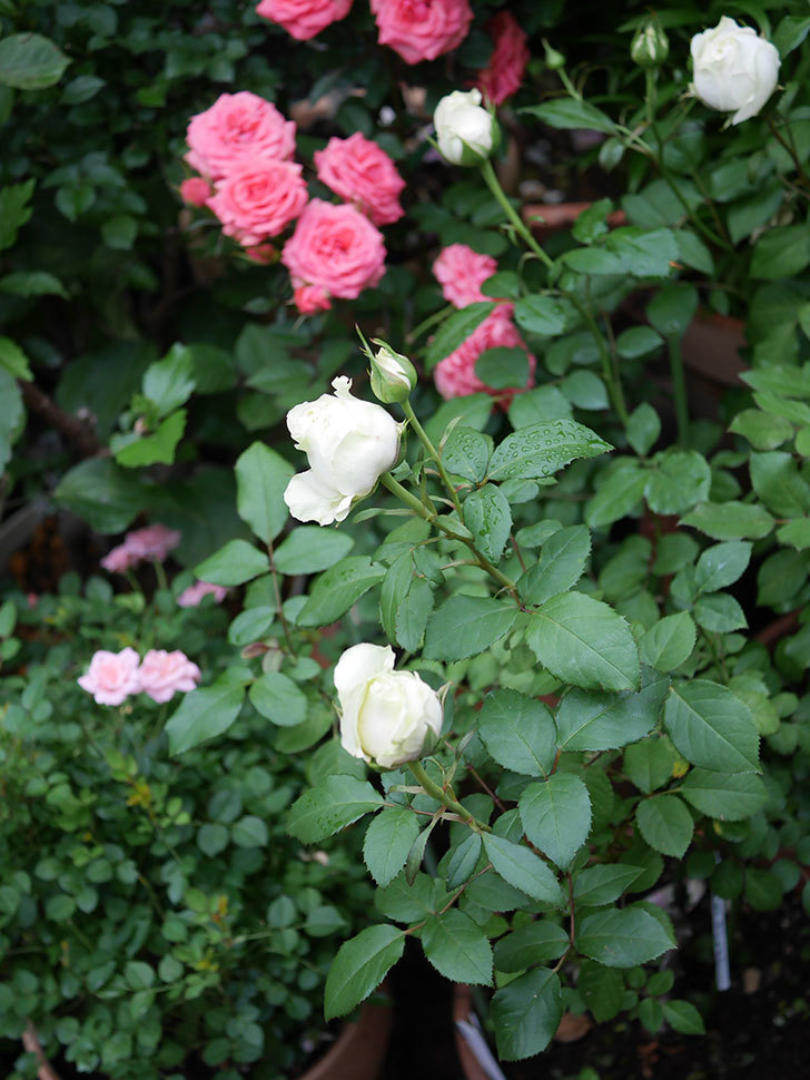 ベルガモ・フォーエバー(ミニバラ)の花が開いて来た。2020年-028.jpg