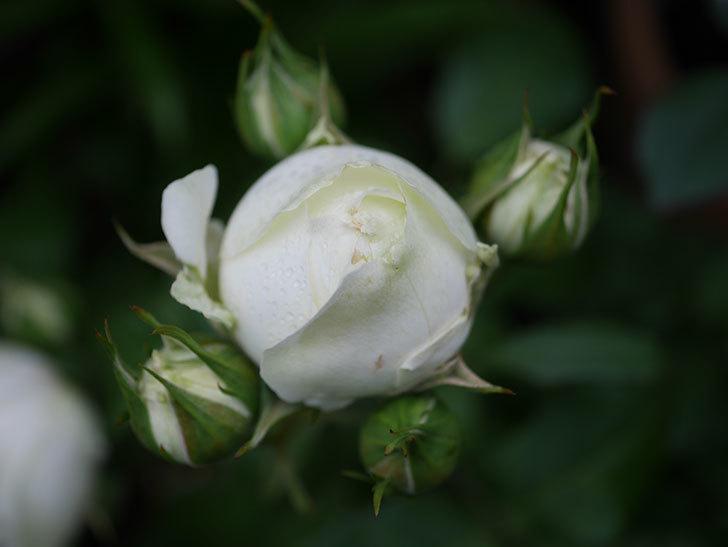 ベルガモ・フォーエバー(ミニバラ)の花が開いて来た。2020年-029.jpg