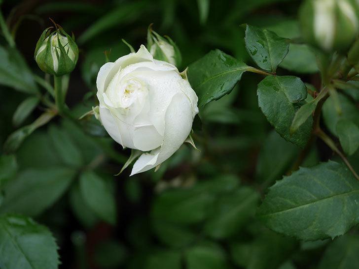 ベルガモ・フォーエバー(ミニバラ)の花が開いて来た。2020年-030.jpg
