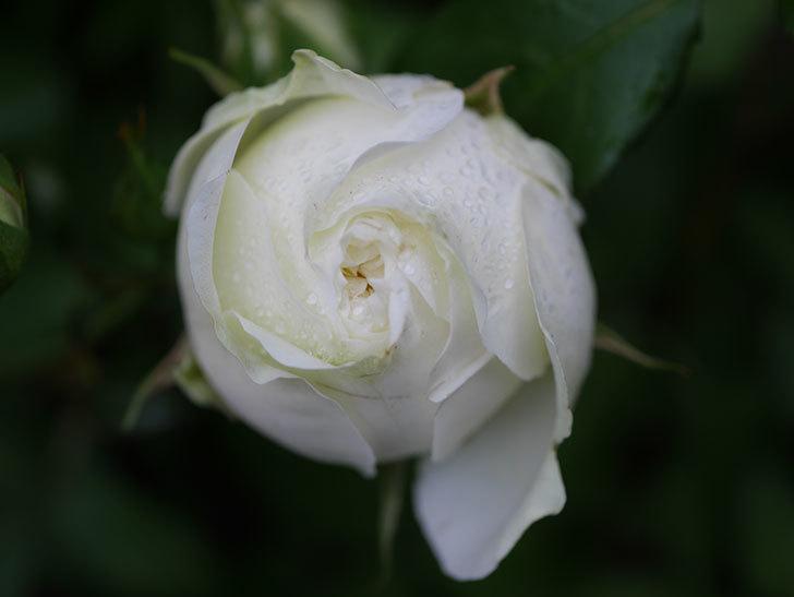 ベルガモ・フォーエバー(ミニバラ)の花が開いて来た。2020年-031.jpg