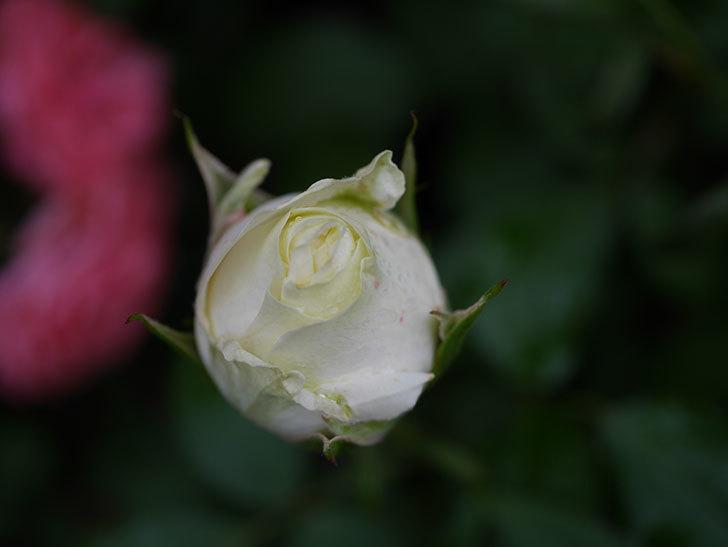ベルガモ・フォーエバー(ミニバラ)の花が開いて来た。2020年-032.jpg