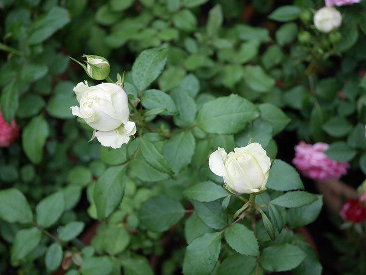 ベルガモ・フォーエバー(ミニバラ)の花が開いて来た。2020年-033.jpg