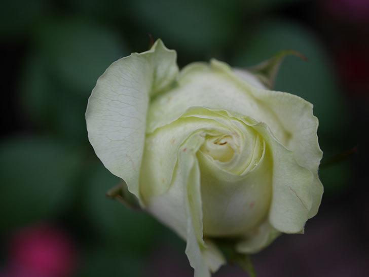 ベルガモ・フォーエバー(ミニバラ)の花が開いて来た。2020年-034.jpg
