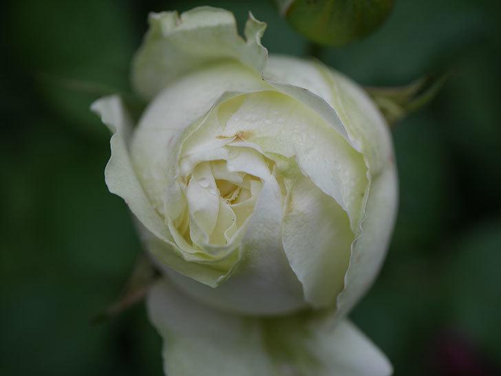 ベルガモ・フォーエバー(ミニバラ)の花が開いて来た。2020年-035.jpg