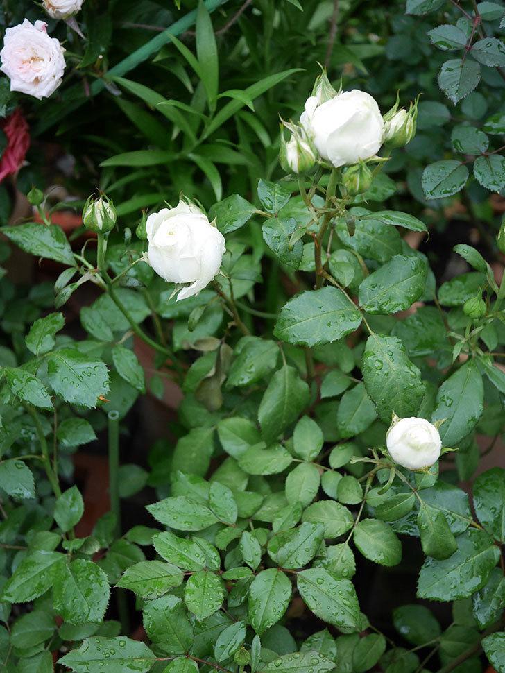 ベルガモ・フォーエバー(ミニバラ)の花が開いて来た。2020年-036.jpg
