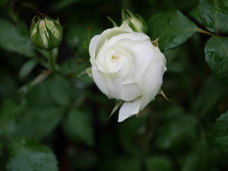ベルガモ・フォーエバー(ミニバラ)の花が開いて来た。2020年-037.jpg