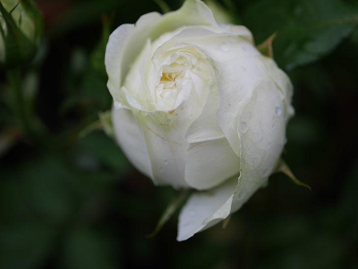 ベルガモ・フォーエバー(ミニバラ)の花が開いて来た。2020年-038.jpg