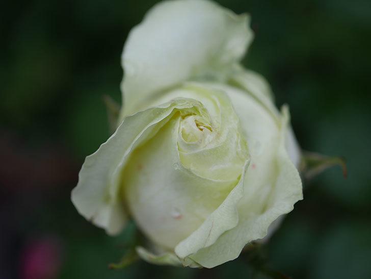 ベルガモ・フォーエバー(ミニバラ)の花が開いて来た。2020年-039.jpg
