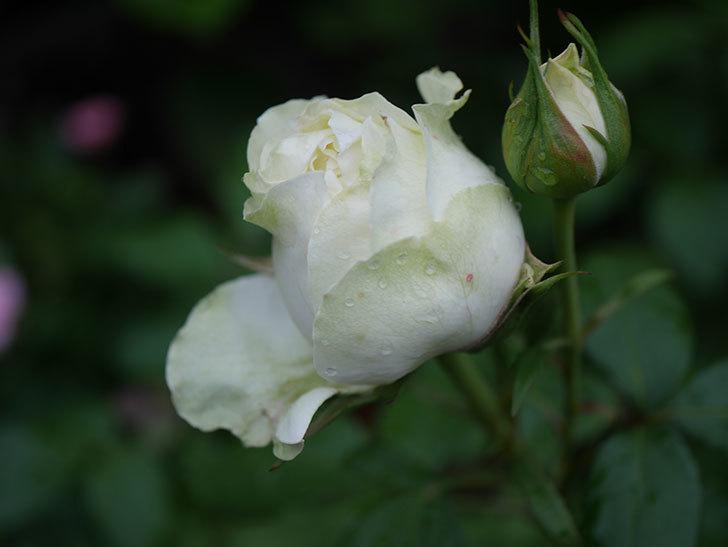 ベルガモ・フォーエバー(ミニバラ)の花が開いて来た。2020年-040.jpg