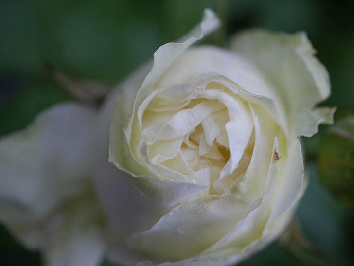 ベルガモ・フォーエバー(ミニバラ)の花が開いて来た。2020年-041.jpg