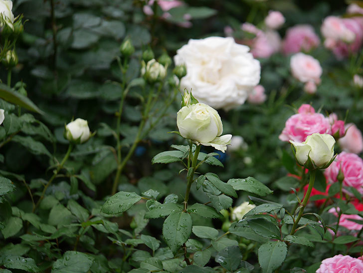 ベルガモ・フォーエバー(ミニバラ)の花が開いて来た。2020年-042.jpg