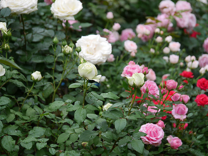 ベルガモ・フォーエバー(ミニバラ)の花が開いて来た。2020年-043.jpg