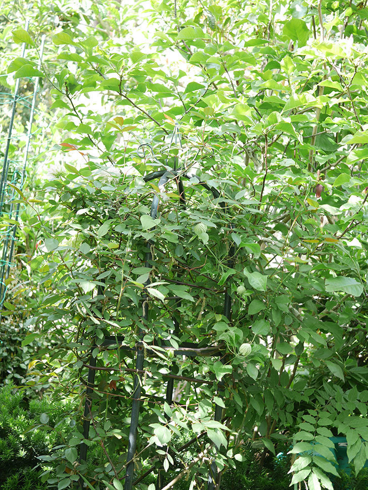 ベル・オブ・ウォーキング(早咲き大輪系 パテンス系 旧枝咲)の花が咲いた。2021年-001.jpg