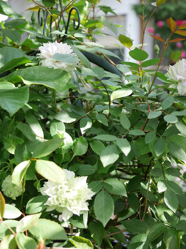 ベル・オブ・ウォーキング(早咲き大輪系 パテンス系 旧枝咲)の花が咲いた。2021年-005.jpg
