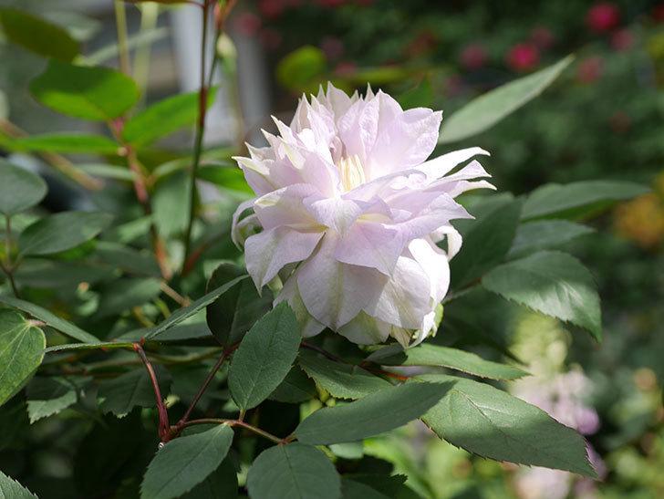 ベル・オブ・ウォーキング(早咲き大輪系 パテンス系 旧枝咲)の花が咲いた。2021年-007.jpg