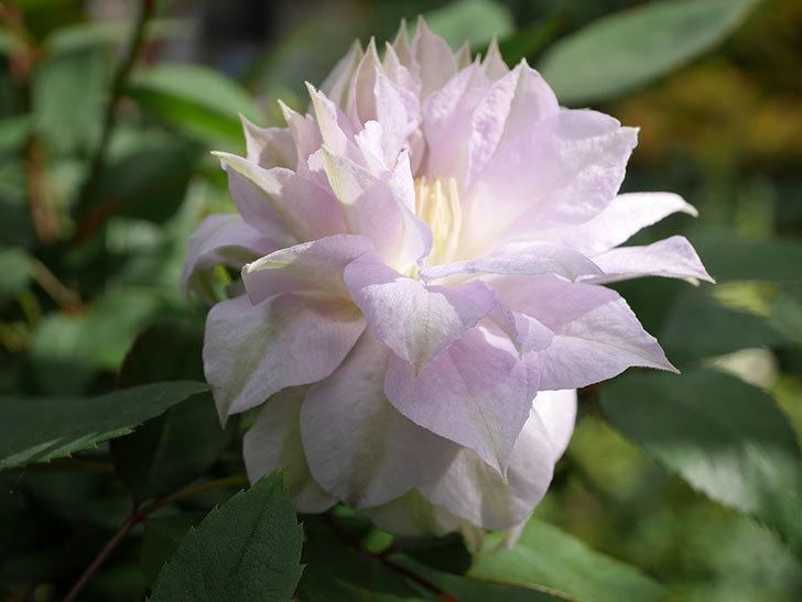 ベル・オブ・ウォーキング(早咲き大輪系 パテンス系 旧枝咲)の花が咲いた。2021年-008.jpg