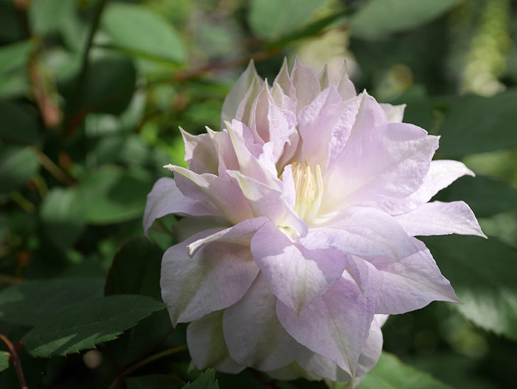 ベル・オブ・ウォーキング(早咲き大輪系 パテンス系 旧枝咲)の花が咲いた。2021年-009.jpg