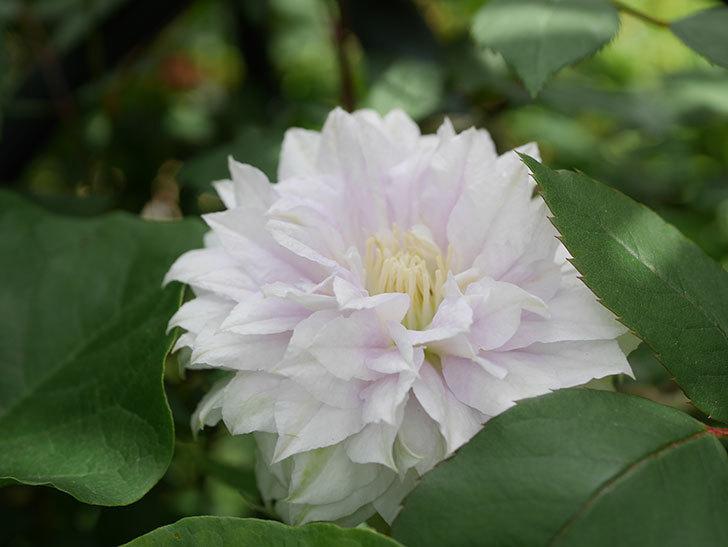 ベル・オブ・ウォーキング(早咲き大輪系 パテンス系 旧枝咲)の花が咲いた。2021年-011.jpg