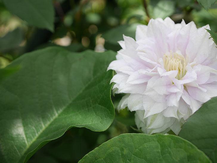 ベル・オブ・ウォーキング(早咲き大輪系 パテンス系 旧枝咲)の花が咲いた。2021年-012.jpg