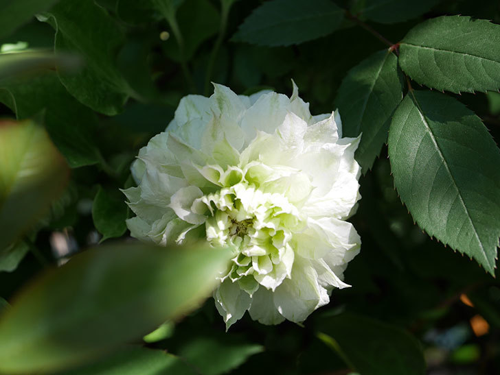 ベル・オブ・ウォーキング(早咲き大輪系 パテンス系 旧枝咲)の花が咲いた。2021年-019.jpg
