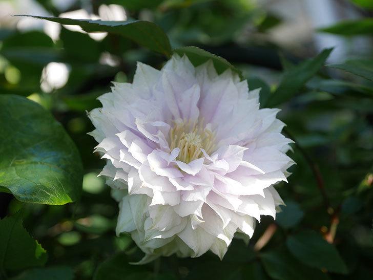 ベル・オブ・ウォーキング(早咲き大輪系 パテンス系 旧枝咲)の花が咲いた。2021年-020.jpg