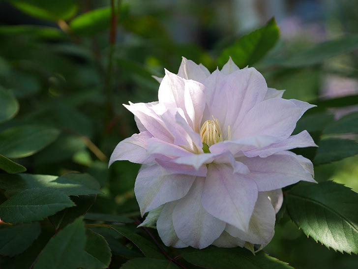 ベル・オブ・ウォーキング(早咲き大輪系 パテンス系 旧枝咲)の花が咲いた。2021年-022.jpg